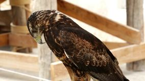 Buzzard-eagle Geranoaetus melanoleucus stock video footage