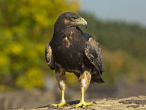 Black-chested Buzzard-eagle Royalty Free Stock Images