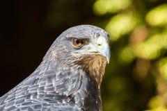 Black Chested Buzzard Eagle Geranoaetus melanoleucus Portrait Royalty Free Stock Photo