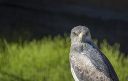 Black-chested buzzard-eagle or Geranoaetus melanoleucus. Black-chested buzzard-eagle, whose scientific name is Geranoaetus melanoleucus Stock Images
