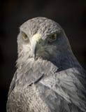 Black-chested buzzard-eagle or Geranoaetus melanoleucus. Black-chested buzzard-eagle, wich scientific name is Geranoaetus melanoleucus Royalty Free Stock Photos