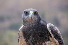 Black-chested buzzard-eagle at the market in Maca, Colca Canyon, Royalty Free Stock Image