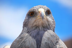 Black-chested buzzard-eagle at the market in Maca, Colca Canyon, Stock Image