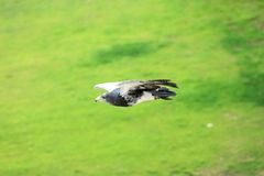 Black-chested buzzard-eagle Royalty Free Stock Photo