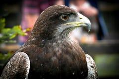Black-chested buzzard-eagle portrait. Birds of prey. Close-up of Black-chested buzzard-eagle (Geranoaetus melanoleucus Stock Image
