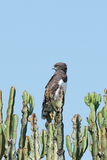 Black-chested Harrier eagle. In Kenya east Africa (circaetus pextoralis Royalty Free Stock Image