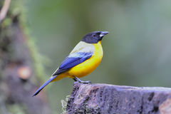 Black-chested Mountain Tanager Stock Image