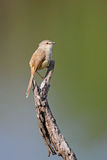 Black Chested Prinia Stock Image