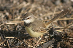 Black-chested Prinia Stock Photography