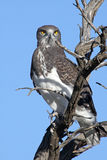 Black Chested Snake Eagle. Juvenile Black Chested Snake Eagle Royalty Free Stock Photography
