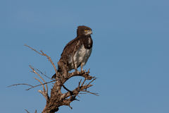 Black Chested Snake Eagle Royalty Free Stock Images