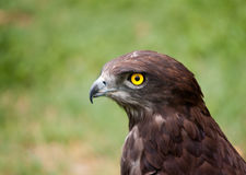 Black chested snake eagle against a lovely green b Stock Photography