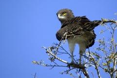 Black-chested Snake-eagle (Circaetus pectoralis) Royalty Free Stock Photo