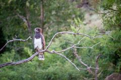 Black-chested snake eagle sitting on a branch. Stock Photo