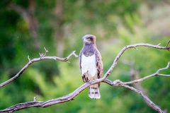 Black-chested snake eagle sitting on a branch. Royalty Free Stock Photo
