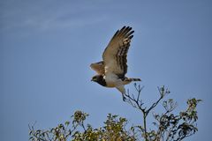Black-chested Snake Eagle from South Africa royalty free stock photography