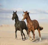 Black and chestnut horses in desert royalty free stock photos
