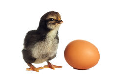 Black chick with egg Royalty Free Stock Images