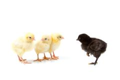 Black chick goes to the yellow chicks Royalty Free Stock Photo