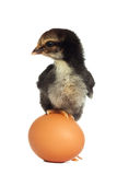 Black chick standing on the egg Royalty Free Stock Image