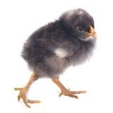 Black chick walks isolated on white background Stock Images