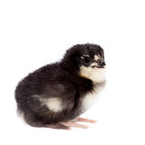 Black chick on white background Royalty Free Stock Photography