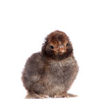Black chick on white background Royalty Free Stock Images