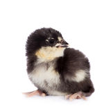 Black chick on white background Stock Photography