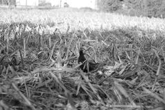 Black chicken in black and White. Bird in a field Stock Images