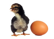 Black chicken with broken egg Royalty Free Stock Photo