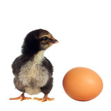 Black chicken with egg Royalty Free Stock Images