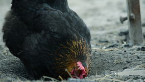 Black chicken pecks the feed stock footage