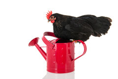 Black chicken on pink watering can Royalty Free Stock Photography