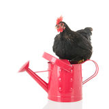 Black chicken on pink watering can Stock Images