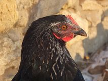 Black chicken portrait Stock Photography