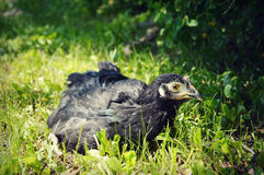 Black Chicken royalty free stock image