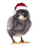 Black chicken in Santa Claus hat Royalty Free Stock Photos
