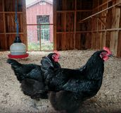 Black chickens royalty free stock images