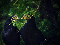 Black Chickens Royalty Free Stock Photography