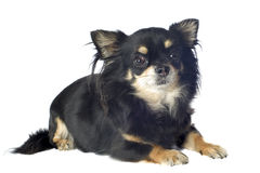 Black chihuahua Royalty Free Stock Image
