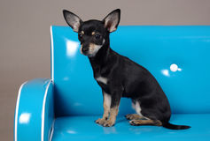 Black Chihuahua. Portrait of young female Chihuahua Stock Image