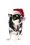 Black Chihuahua as Santa Claus Royalty Free Stock Photo