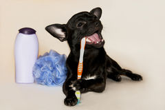 Black chihuahua brushing teeth Stock Images
