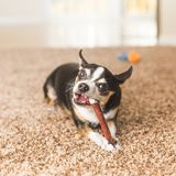 Black Chihuahua with Chew Toy. Black, white, and brown chihuahua dog chewing on a chew toy on carpet Royalty Free Stock Photos