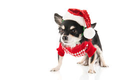 Black Chihuahua for Christmas Stock Image