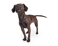Black Chihuahua Crossbreed Barking Stock Photography