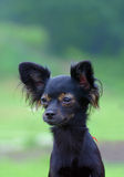 Black chihuahua dog. On green background Royalty Free Stock Photography