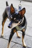 Black chihuahua dog doberman style royalty free stock photos