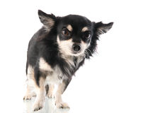Black Chihuahua Stock Images