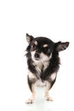 Black Chihuahua Royalty Free Stock Images